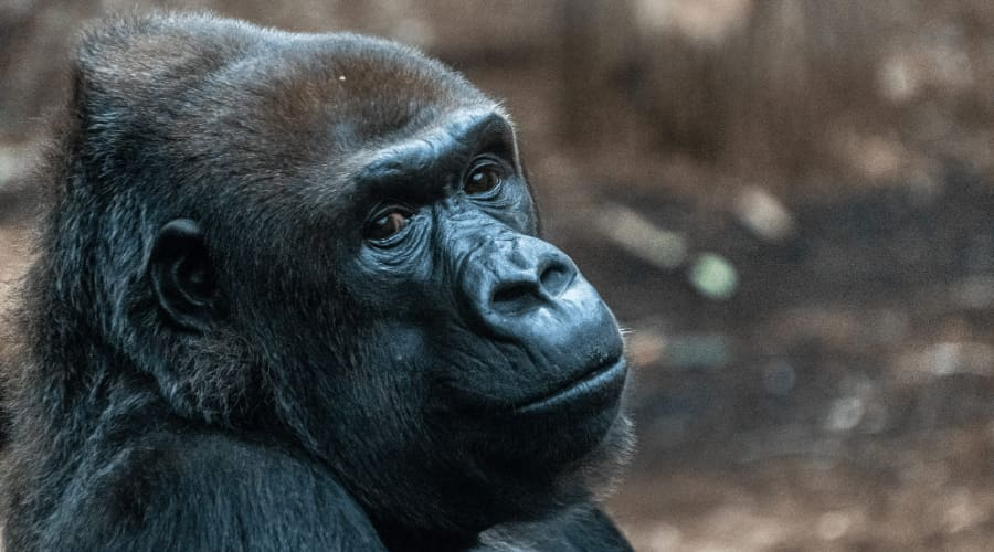 a closeup of a gorilla in a zoo