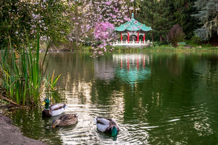 Ducks in Stow Lake with pagoda in background