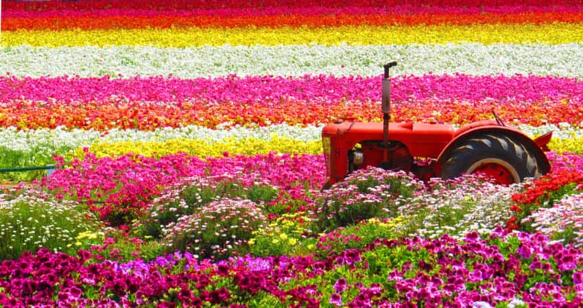 A tractor in a field of colorful flowers at Carlsbad Ranch