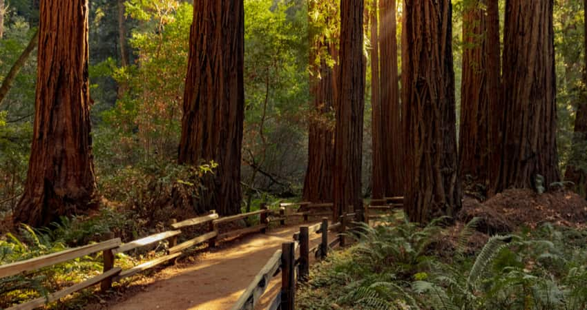 A trail through the Muir Woods National Monument