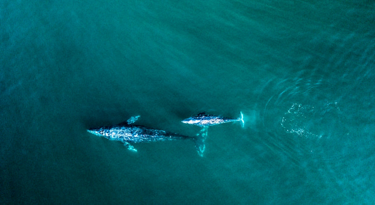 aerial view of a gray whale and her calf swimming in the open ocean near Cray Whale Cove State Beach in California